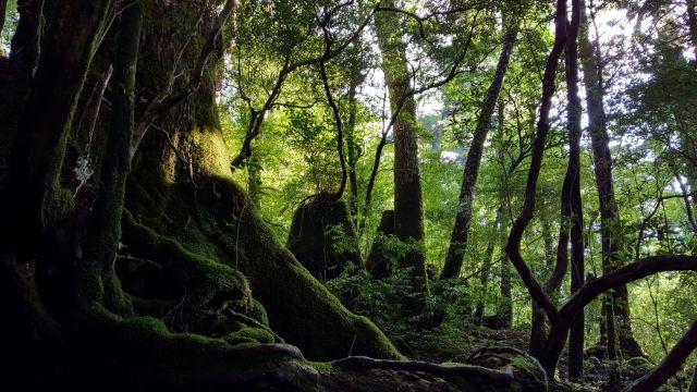 屋久杉の原生林